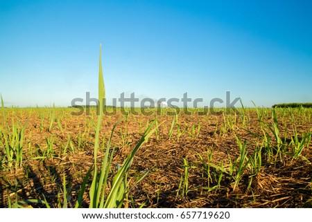 sugar cane #657719620
