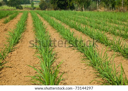 Sugar cane as early growth  field in rural of Thailand. - stock photo