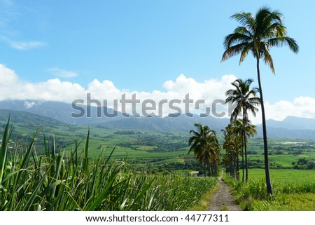 sugar cane field in Reunion Island