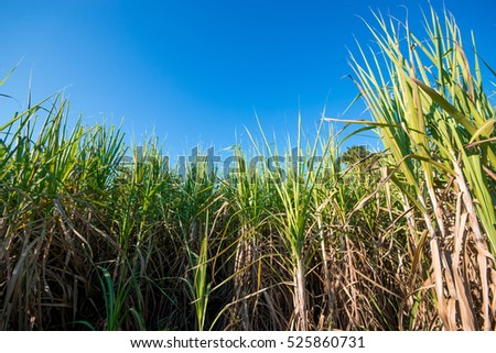 Sugar cane field with blue sky nature background. #525860731