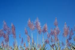sugar cane flower against blue sky.
