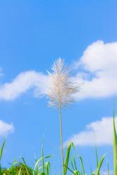 Sugar cane flower on blue sky
