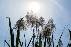 Sugar cane flower with sunlight and the sky