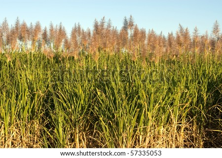 Sugar Cane growing on a farm in Northern NSW, Australia