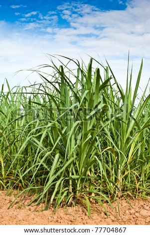 Sugar cane growth in a field,Khonkaen,Thailand.