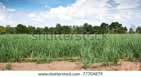 Sugar cane growth in a field,Khonkaen,Thailand.