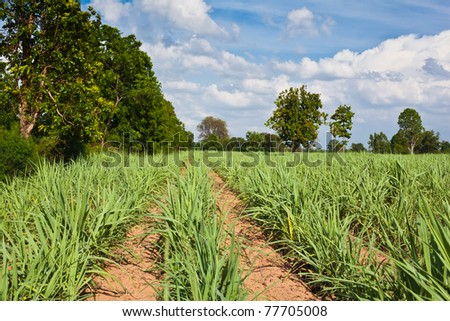 Sugar cane growth old in a field,Khonkaen,Thailand. - stock photo