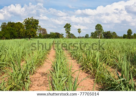 Sugar cane growth old in a field,Khonkaen,Thailand.
