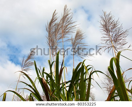 sugar cane in flower ready for harvest with a cloudy sky in the background