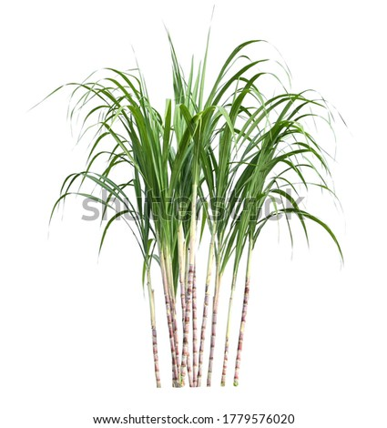 sugar cane isolate on white background Foto stock ©