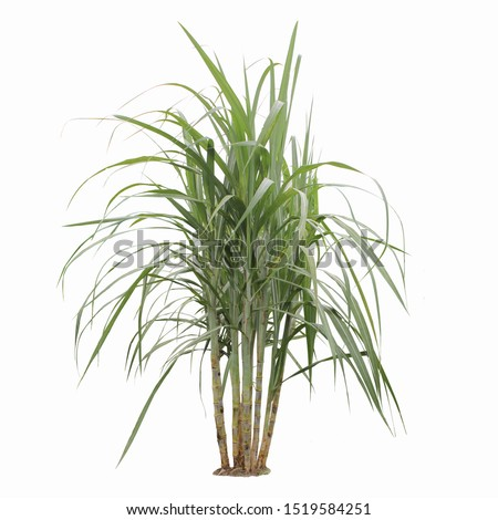 Sugar cane plant during grand growth phase isolated on white background, clipping path. Foto d'archivio ©