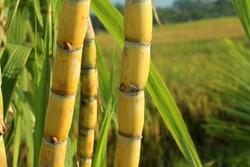 Sugar cane plant grow in field closeup.