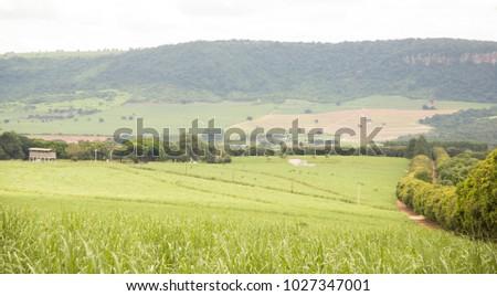 sugar cane plantation #1027347001
