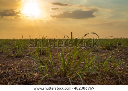 sugar cane plantation factory #482086969