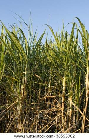 sugar cane ready to be harvested, Queensland, Australia