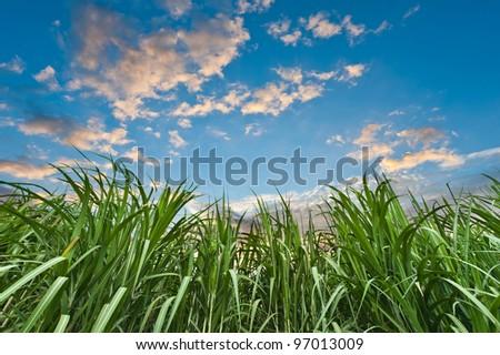 Sugar cane with nice sky
