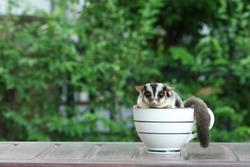 Sugar Glider in coffee cup, Cute animal in househole pet.