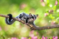 sugar gliders move above the twigs