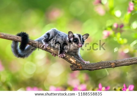 sugar gliders move above the twigs Сток-фото ©