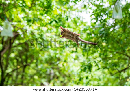 Sugar Gliders seen in a green garden, jump and fly from one tree to another trees Сток-фото ©
