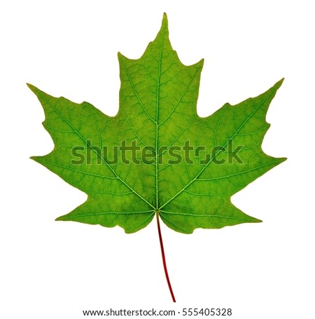 Sugar maple leaf (Acer saccharum) isolated on a white background. #555405328