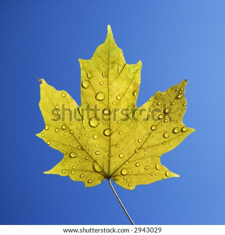 Sugar Maple leaf sprinkled with water droplets against blue background.