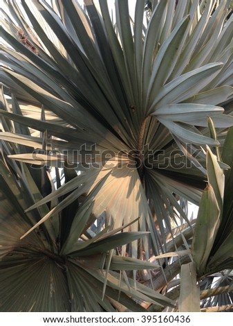 Sugar palm leaf against the blue sky #395160436