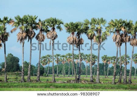sugar palm tree