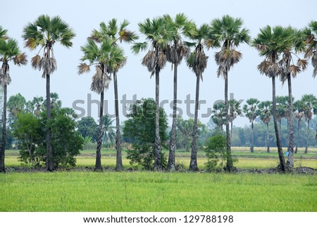 sugar palm tree in paddy field. - stock photo