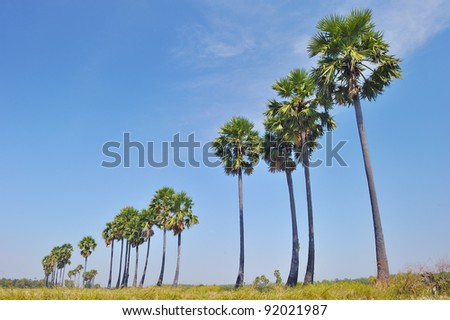 Stock Photo Sugar palm tree in rice field