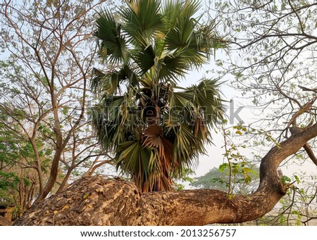 Sugar palm tree with a branch of Samanea saman tree in the morning. Stok fotoğraf ©