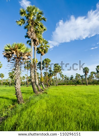 Sugar palm trees in the field ,thailand surrounded by lush green plants.