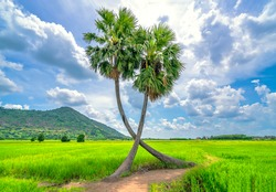 Sugar palms tree in a rice field with a beautiful mountain backdrop