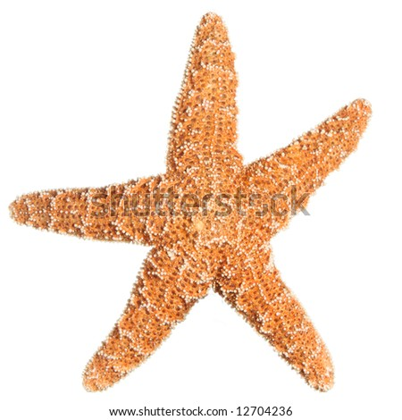 Sugar Starfish isolated on white. Sea stars and shells.