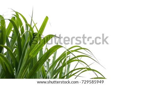 sugarcane #729585949