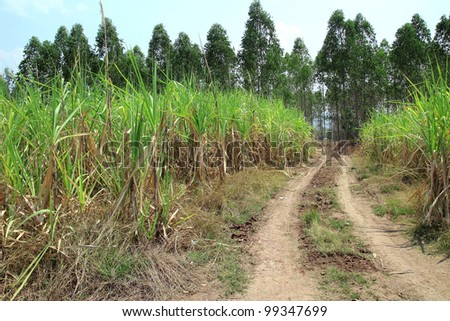 sugarcane and country road