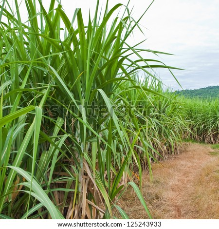 Sugarcane and road to the plant.