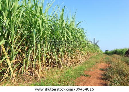 Sugarcane and road to the plant. - stock photo