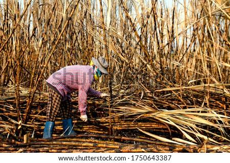 sugarcane farmers in sugar cane field, worker in burn sugarcane plantation in the harvest season, sugar cane cutting workers in sugarcane fields, burned sugarcane farm Photo stock ©