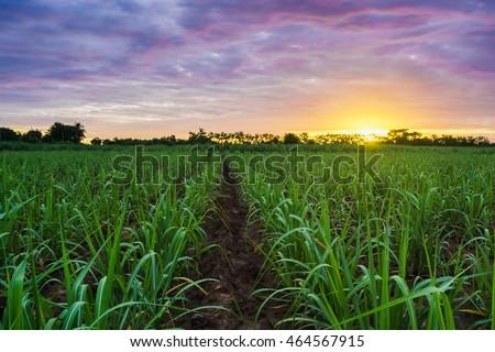 Sugarcane field at sunset.