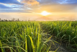 Sugarcane field at sunset. sugarcane is a grass of poaceae family. it taste sweet and good for health. Well known as tebu in malaysia