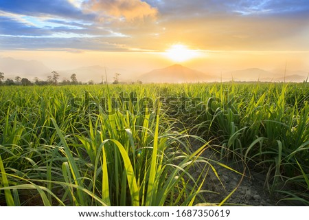 Sugarcane field at sunset. sugarcane is a grass of poaceae family. it taste sweet and good for health. Well known as tebu in malaysia Foto d'archivio ©