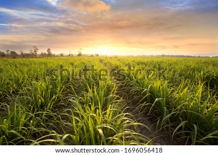 Sugarcane field at sunset. sugarcane is a grass of poaceae family. it taste sweet and good for health. Well known as tebu in malaysia Foto stock ©