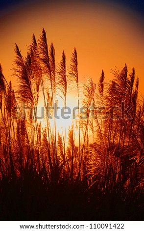 sugarcane field blooming at sunset on farmland