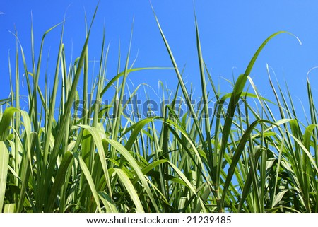 sugarcane field closeup