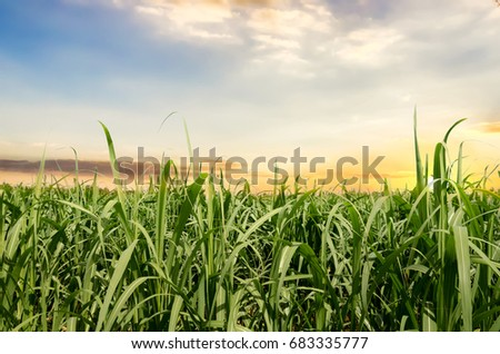 Sugarcane field in Sunset and cloud #683335777