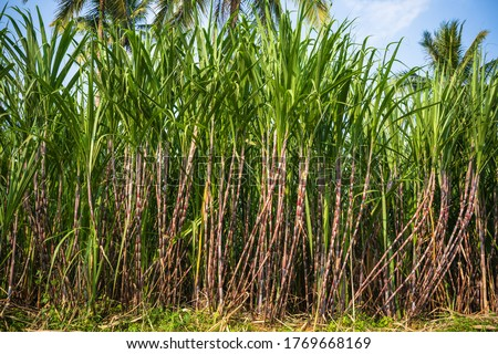 Sugarcane or sugar cane refer to several species and hybrids of tall perennial grasses in the genus Saccharum, tribe Andropogoneae, that are used for sugar production.