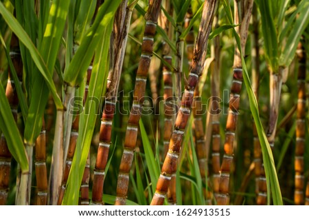 Sugarcane planted to produce sugar and food. Food industry. Sugar cane fields, culture tropical and planetary stake. Sugarcane plant sent from the farm to the factory to make sugar.