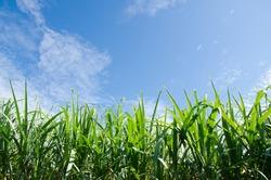 sugarcane plants grow in field. on clear sky.