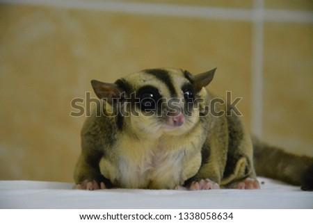 sugarglider animals pets cute #1338058634